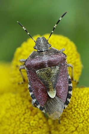 Berry bug (Dolycoris baccarum)
