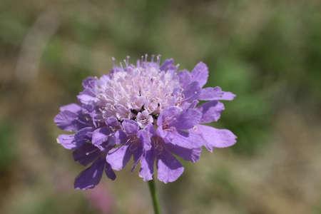 Field Knautie (Knautia arvensis) Stock Photo