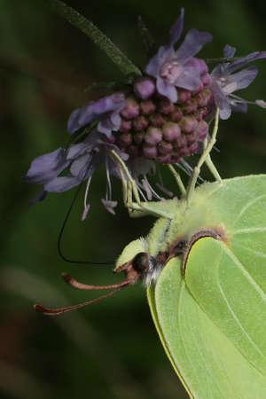 Lemon (Gonepteryx rhamni)