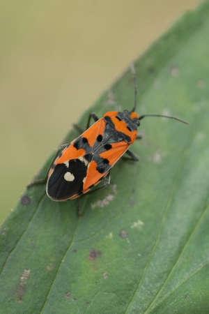 Thumbtack bug (Lygaeus equestris)