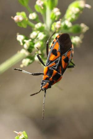 Asclepius Bug (Tropidothorax leucopterus) Stock Photo