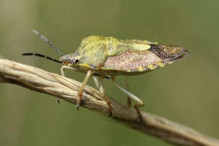 Red-legged Bug (Carpocoris purpureipennis) Stock Photo
