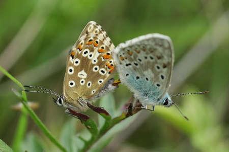 Celtic Blue Argus (Polyommatus bellargus)