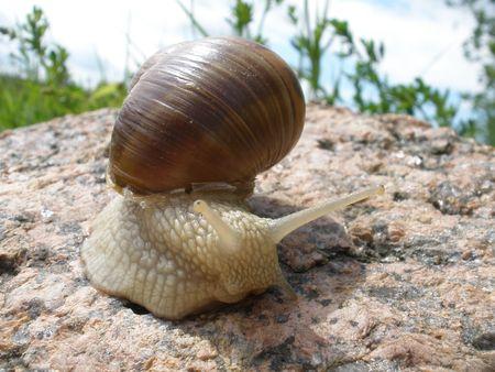 grape snail: grape snail on the rock