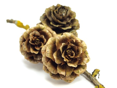 larch cones on the white isolate background
