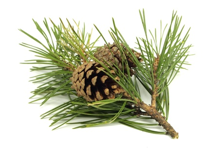 Pine branch with cones on a white background Stockfoto