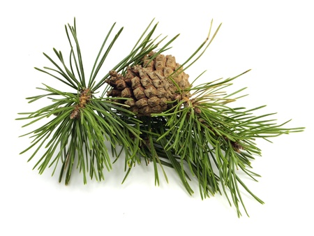 Branche de pin avec des cônes sur un fond blanc