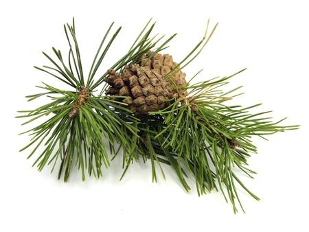 Pine tak met kegels op een witte achtergrond Stockfoto