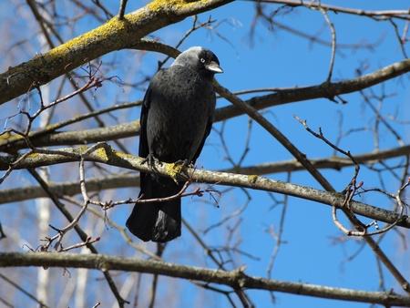 The Jackdaw (Corvus monedula) on the tree   Stock Photo - 10474269