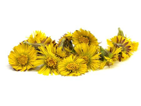botanical remedy: Colts Foot orTussilago farfara on a white background