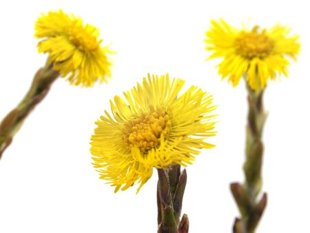 Colts Foot or Tussilago farfara on a white background  Stock Photo - 10488054