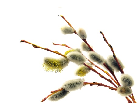 willow tree: pussy willows branches on a white background   Stock Photo