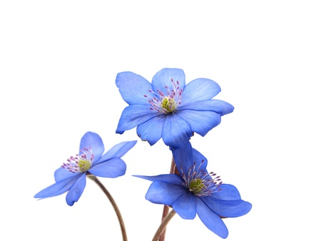Hepatica nobilis flowers on a white background  Stock Photo - 10488005