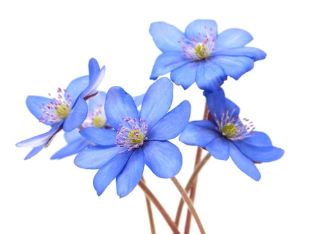 hepatica: Hepatica nobilis flowers on a white background  Stock Photo