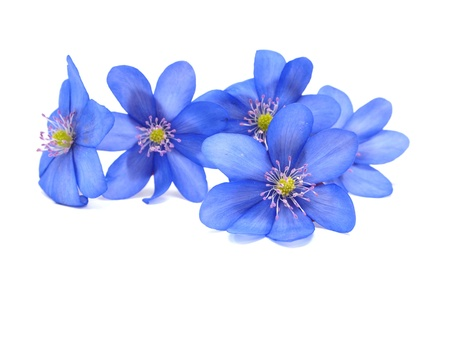 Hepatica nobilis flowers on a white background  photo