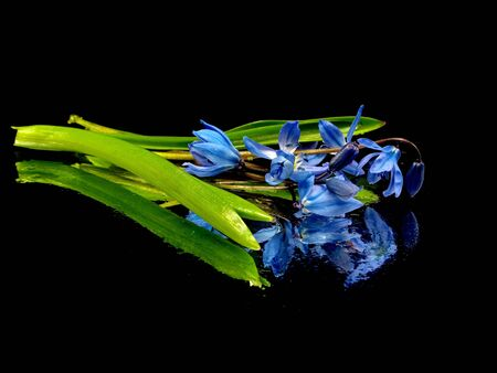 Siberian squill or Scilla siberica on a black background with water drops