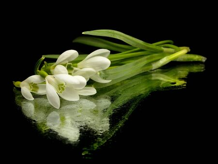 galanthus: Spring snowdrop flowers bouquet on black background with water drops    Stock Photo