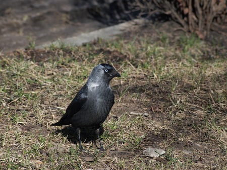 The Jackdaw (Corvus monedula) on grass   photo