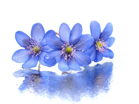 hepatica: Hepatica nobilis flowers on a white background with water drops    Stock Photo