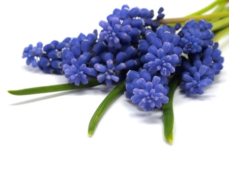 Grape muscari hyacinth flower on a white background
