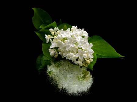 White lilac flowers (Syringa vulgaris) on black background with water drops    photo