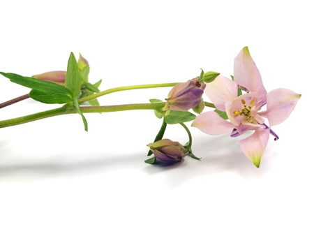 pink columbine: pink columbine - aquilegia flowers on a white background