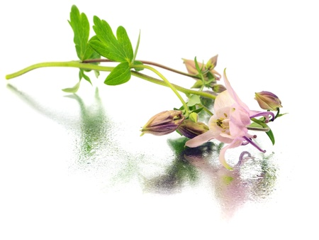 pink columbine: pink columbine - aquilegia flowers on a white background with water drops