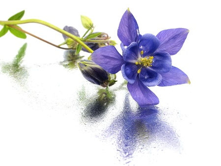 blue columbine - aquilegia flowers on a white background with water drops    Stock Photo