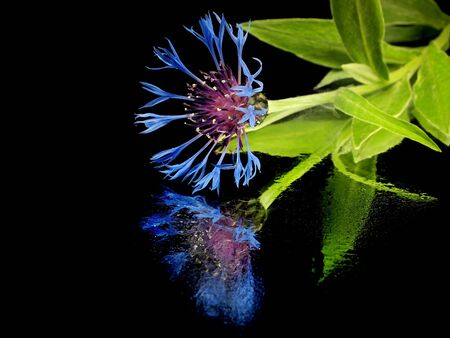 cornflower - centaurea montana on a black background with water drops  photo