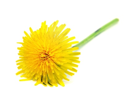 taraxacum: dandelion - taraxacum on a white background