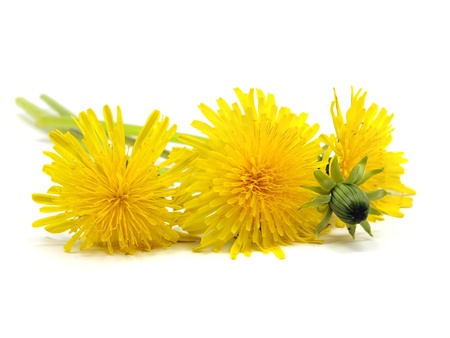 dandelion - taraxacum on a white background