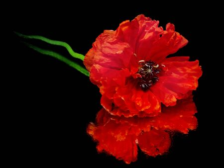 red poppy flower on a white background with water drops    photo