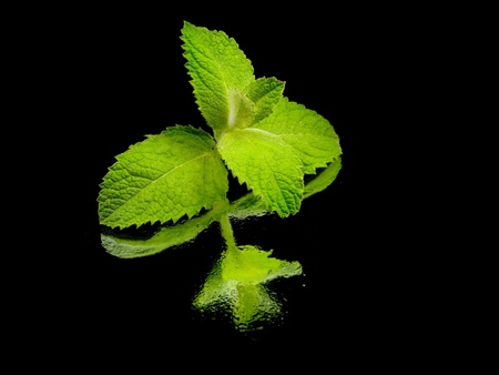 fresh green mint leaves on a black background with water drops    photo