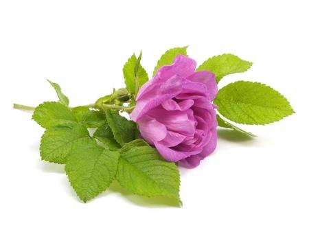 pink dog rose on a white background  photo