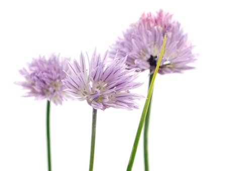 Flowers of chives on a white background photo