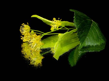 Flowers of linden tree on a black background water drops  photo