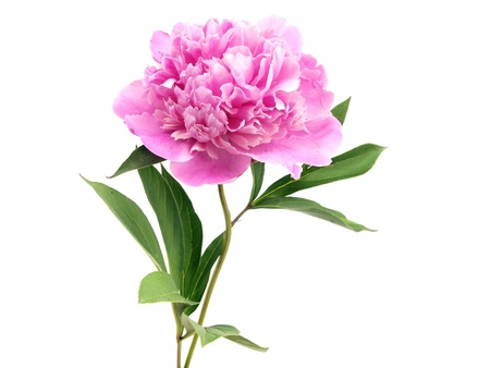 pink peony flower on a white background Banco de Imagens