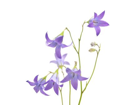 patula: Campanula patula flower on a white background