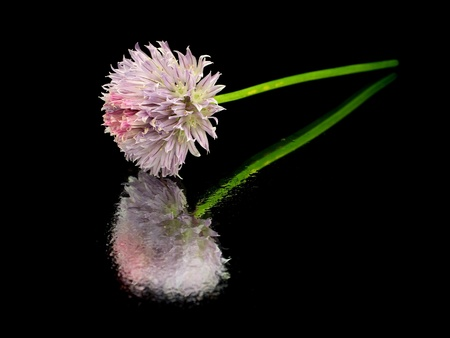 Flowers of chives on a black background with water drops       photo