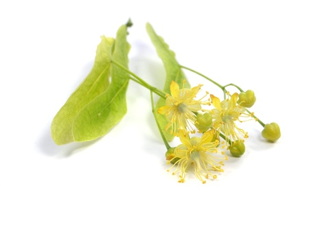 Flowers of linden tree on a white background  photo