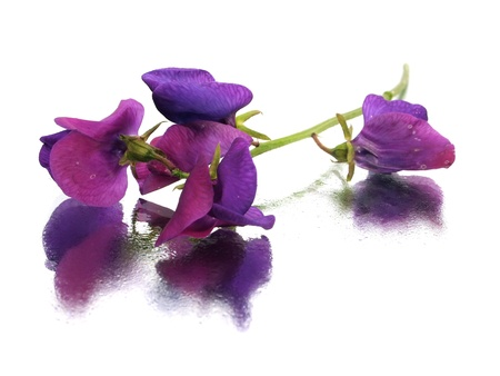 sweet pea: beautiful sweet pea flower on white background with water drps