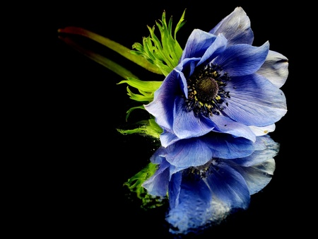 anemone flower: flowers of anemone on a black background with water drops