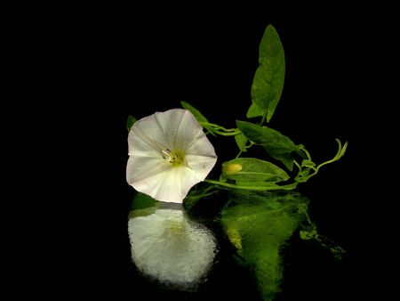 Convolvulus arvensis on a black background photo