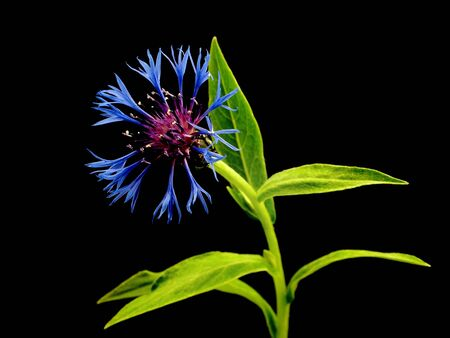 cornflower - centaurea montana on a black background with photo