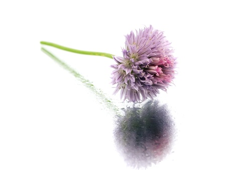 Flowers of chives on a white background with water drop   photo