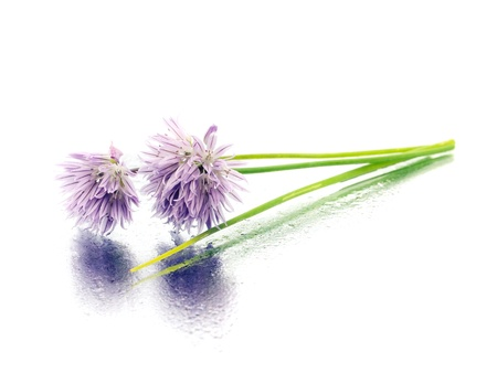 herbaceous border: Flowers of chives on a white background with water drop
