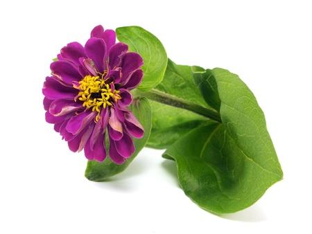 Zinnia flower on a white background  photo