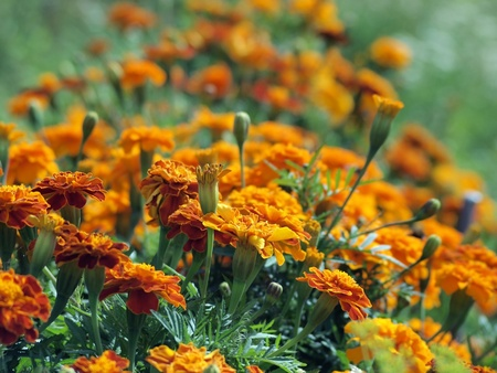 garden marigold: beautiful summer garden with marigold