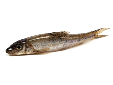 gudgeon (gobio gobio) on a white background