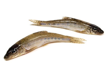 gudgeon (gobio gobio) on a white background   Stock Photo - 11171319